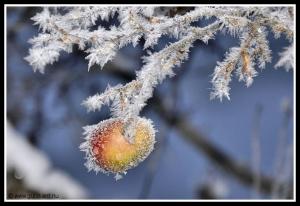 Frostäpple